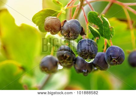 Aronia Or Black Chokeberry