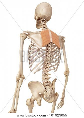 medical accurate illustration of the rhomboid muscles
