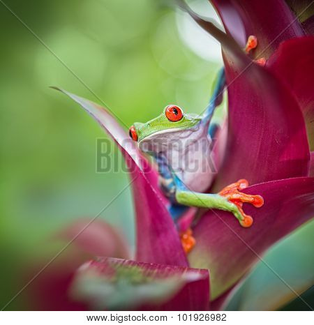 red eyed tree frog from the tropical jungle of Costa RIca, Nicaragua and Panama macro of an exotic rain forest animal, rainforest treefrog