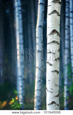 Blue Birch Forest
