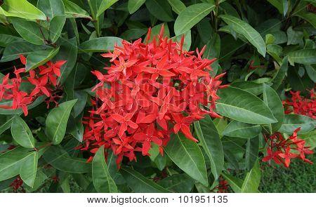 Ixora is a genus of flowering plants