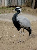 Gracious gray crane stays in Moscow zoo poster