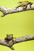 tree frog on branch yellow background with copy space poster
