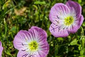 A Closeup of a Couple of Texas Pink Evening or Showy Evening Primrose Wildflowers. (Oenothera speciosa) poster