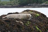 seal in ireland county cork near the village of glengarriff. poster