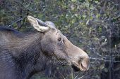 female moose in the forest of algonquin park on a autumn day poster