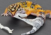 A shedding juvenile leopard gecko is his shedding skin off of his back leg and tail.  He is eating it as he is pulling it off so as not to leave a scent trail for predators. poster