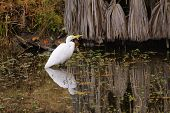 great egret wading in the water horizontal format poster