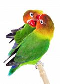 Pair of lovebirds agapornis-fischeri isolated on white poster