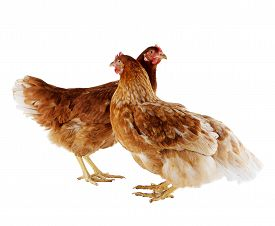 Two brown hen