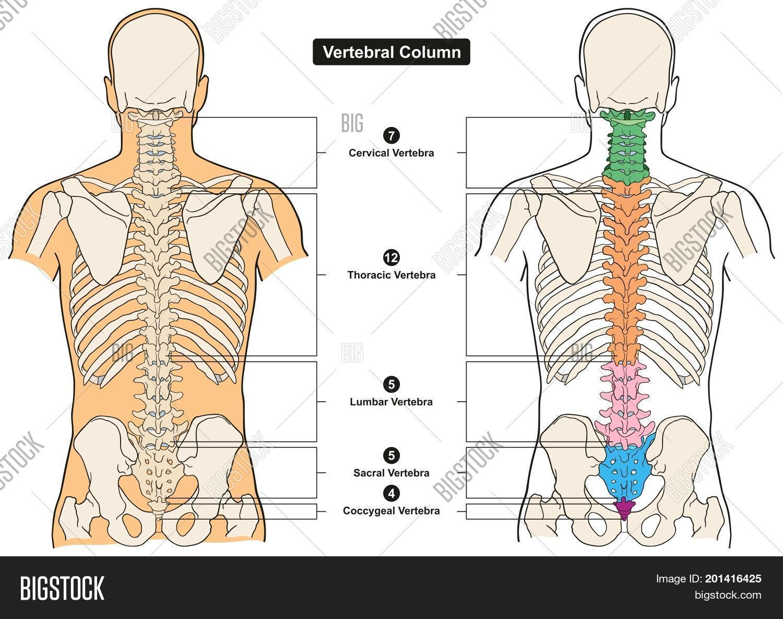 Vertebral Column Human Image Photo Free Trial Bigstock