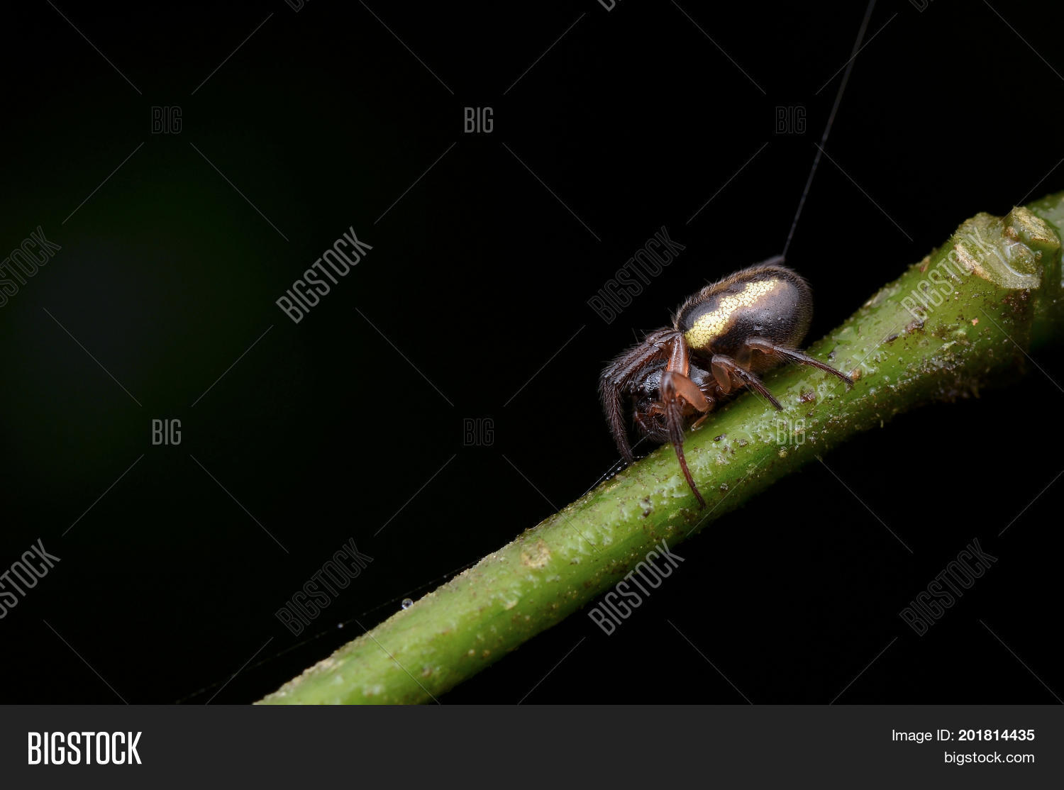 23287f2a47c macro image of a web debris spider from Borneo (cyclosa insulana)