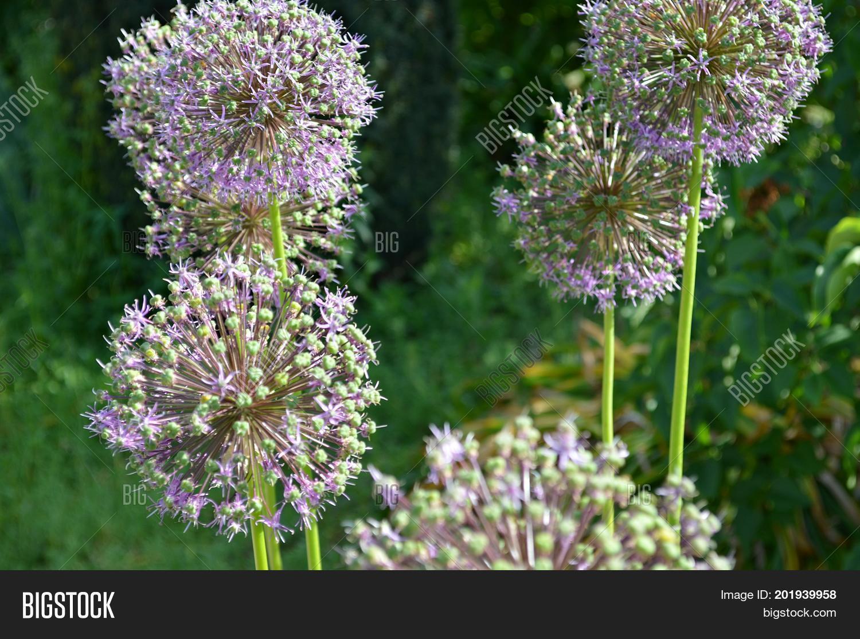 Light Purple Allium Image Photo Free Trial Bigstock