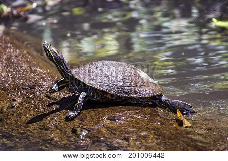 A Yellow-bellied slider Turtle sunbathing on a log in natural rainforest canal at Tortuguero National Park - Costa Rica