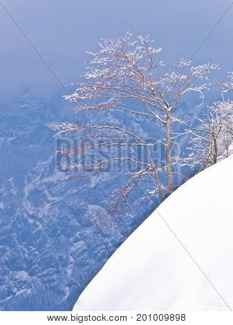 Lonely tree on a snowy cliff, mountain Vogel, slovenian Alps, Slovenia