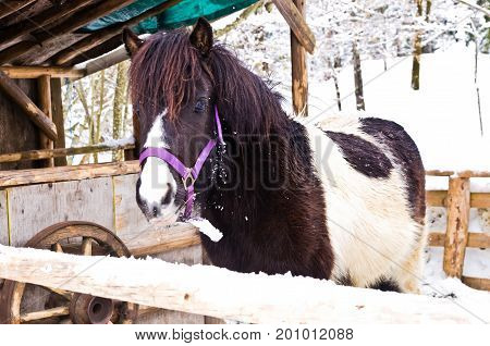 Cute small pony horse in snow covered barnyard near lake Bohinj, Slovenia