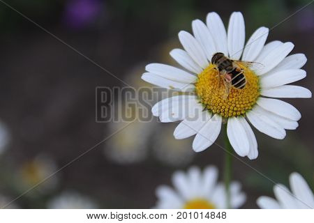 The bee collects the fervor on the chamomile