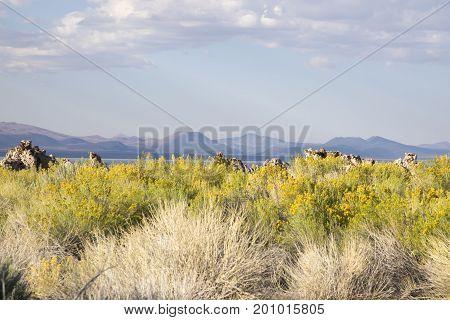 Field Of Blooming Sage At Mono Lake