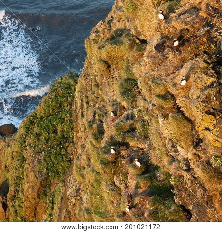 Puffin Family Resting On The Cliff In Vic, Southern Iceland. Birdwatching Of Puffins In Iceland Duri