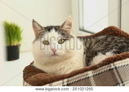 White Face Tom Mail Cat Lay In Bed On Windowsill