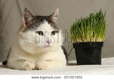Tom Male Funny Cat Eating Grass From Pot
