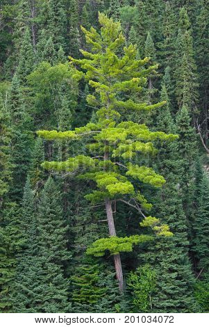 Standing out from the crowd, this pine tree grows abstractly amongst it's peers.