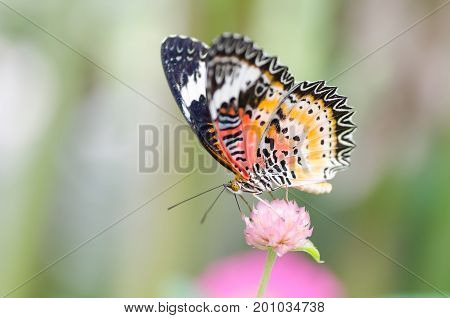 Beautiful butterfly is pollinating on flowers in a garden