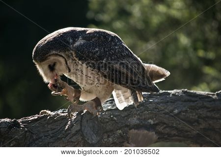 the barn owl is eating a chicken