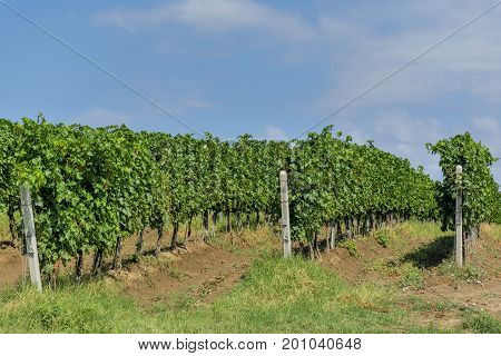 Rows of young grape vines. Vine rows are aligned on the slope of a hill against the blue sky with small white clouds. Vneyard is situated near Murfatlar in Romania.