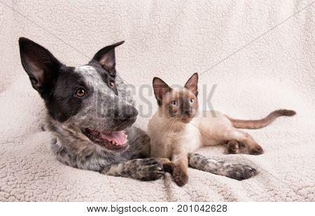 Adorably cute dog and cat together on a soft blanket, looking to the right of the viewer