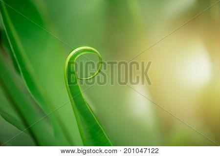 Bird's Nest Fern. Closeup Fern Leaf For Nature Background.