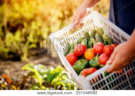 Close-up of a farmer holding a basket of a box of vegetables: green cucumbers red and yellow tomatoes peppers chili peppers. Concept harvesting in autumn eco-farm. Blick light and sun.