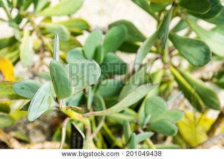 Senecio crassissimus Asteraceae plant leaf close up in park