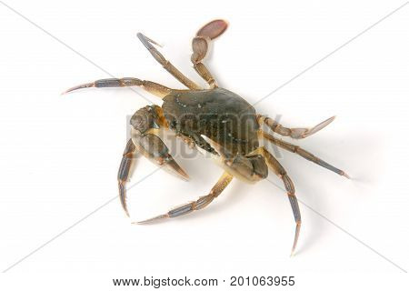 edible alive crab isolated on a white background.