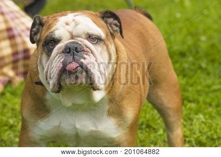 English Bulldog is a short-haired breed of mastiff type dogs. Against the background of a green blurred grass.  2018 year of the dog in the eastern calendar. Concept: parodist dogs, dog friend of man, true friends, rescuers.