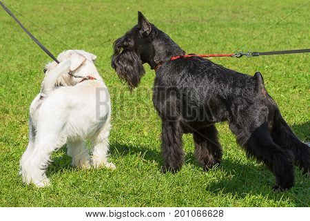 Schnauzer 2018 year of the dog in the eastern calendar. Concept: parodist dogs, dog friend of man, true friends, rescuers.