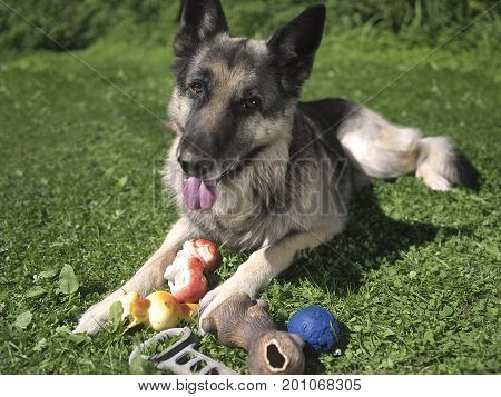 Particular focus shot of a dog lying in a garden with a bunch of toys