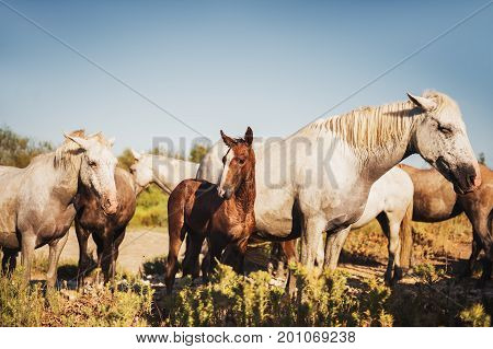 White wild horses and colt in nature reserve in Parc Regional de Camargue Provence France