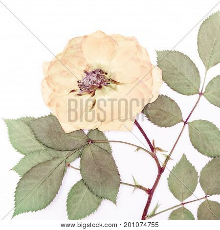 Pressed and dried tea rose isolated on white background. For use in scrapbooking floristry or herbarium.