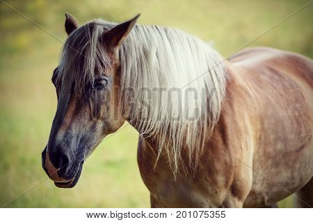 Portrait of a beautiful brown horse with a gray mane on a pasture (vintage effect)