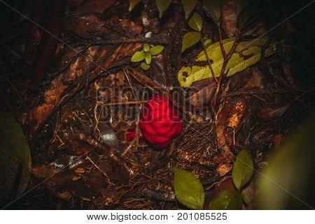 Unusual Plants In The Jungle. Borneo, Malaysia