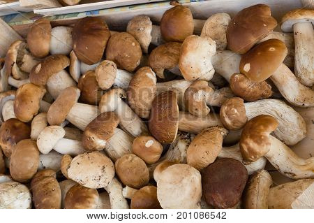 Fresh porcini mushrooms (boletus edulis) in the boxes at the local fermers market ready to sale