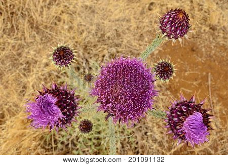 Onopordum carduelium in bloom, wild thistle of Gran canaria, seen from above