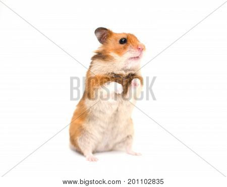 Cute Syrian hamster standing on its hind legs (isolated on white selective focus on the hamster nose and whiskers)