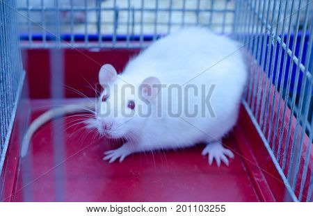 White laboratory rat sitting in a cage in a laboratory selective focus on the rat nose (in blue tones)
