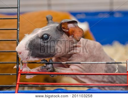 Curious cute skinny guinea pig baby with big ears looking out of a cage
