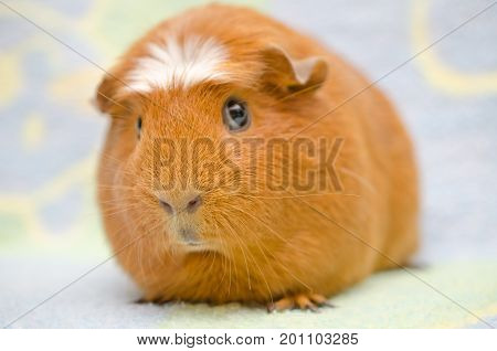 Cute funny guinea pig against a bright background (selective focus on the guinea pig nose)