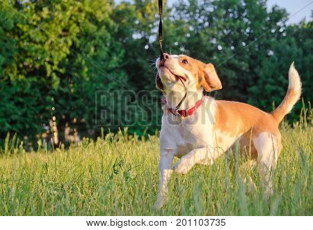 Playful beagle puppy running and pulling its leash with its teeth (with copyspace on the left)