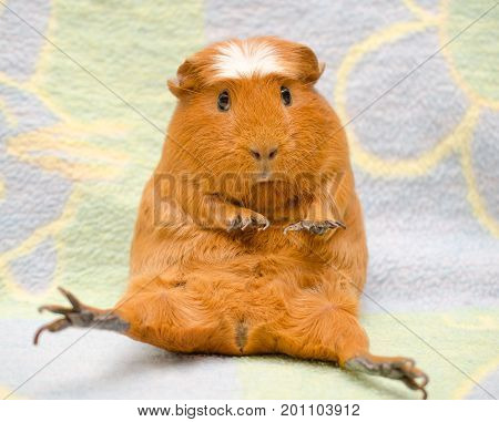 Cute scared guinea pig with long nails sitting in a funny pose against a bright background