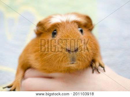 Funny cute guinea pig in a human hand against a bright background (selective focus on the guinea pig nose)